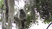 musgoso : Baby Barred Owl on a branch Stock Footage