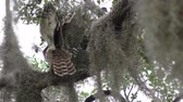 coruja : Barred Owls feed on a branch