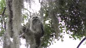 owl : Baby Barred Owl on a branch Stock Footage