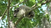 empoleirar : Barred Owlet on a branch Stock Footage