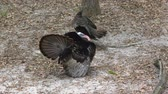 птицы : Wild Turkey male and female