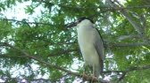 листья : Black-crowned Night-Heron in Florida wetlands Стоковые видеозаписи