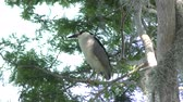 empoleirar : Black-crowned Night-Heron in Florida wetlands Stock Footage