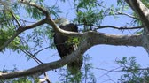 predador : Bald Eagle perches on a branch