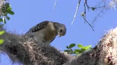 empoleirar : Red-Shouldered Hawk feeds on a frog