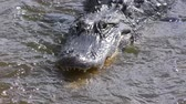 alligator fishing in flowing water