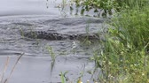 crocodilo : Large American alligator jumps after fish
