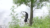 anhinga bird perched with a fish near lake Stok Video