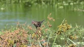 Red-Winged Blackbird female with some nesting material