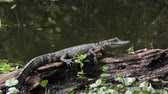 log : small alligator sunning in a swamp Stock Footage