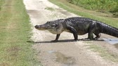 large alligator crossing rural road Stock Footage