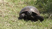 tartaruga : Gopher Tortoise walks towards camera in Florida wetlands