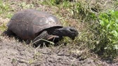 elülső : Gopher Tortoise walks in Florida wetlands