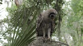 empoleirar : young barred owl looking around