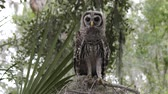 мышление : young barred owl looks around and flies towards a camera