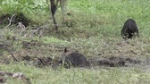 wetland : wild hogs feed in Florida wetlands