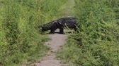 large alligator crossing a narrow park trail Stock Footage