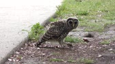 young barred owl playing with a caterpillar Stock Footage