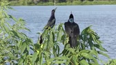 tekne : Boat-tailed Grackles spring song near Florida lake