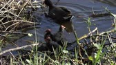Common Gallinule feeds its chicks in Florida pond