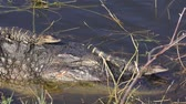 aligátor : Mother Alligator with Babies on her back and head