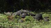 paketlenmiş : Young alligator sunning with turtles in Florida swamp Stok Video