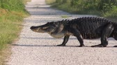 Large alligator crossing a rural road Stock Footage