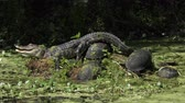 Young alligator sunning with turtles in Florida swamp Stock Footage