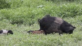 boar : Wild boar mother with her piglets Stock Footage