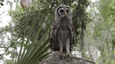 olhar : young barred owl looking around in Florida woods Stock Footage