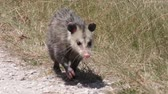 kürk : young opossum walks in Florida grassland
