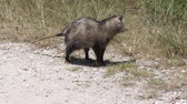 gyalogló : young opossum walks in Florida grassland