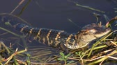 baby alligator sunning in a swamp