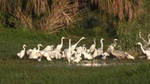 wading birds feed in Florida wetlands Stock Footage
