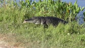 озера : alligator with a tumor on its jaw comes out of water in Florida wetlands Стоковые видеозаписи