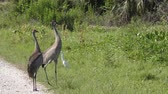 alerta : Sandhill Cranes dance trying to scare away alligator in grass