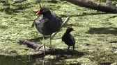 czerwony : Common Gallinule with its chick in Florida wetlands