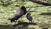 птицы : Common Gallinule with its chick in Florida wetlands