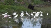wading birds and wild hog feed in Florida swamp Stock Footage
