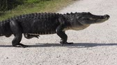 aligátor : large alligator crossing a country road in Florida