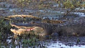 dişler : large alligator at sunset in Florida swamp Stok Video