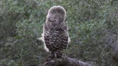 young barred owl flying away in Florida woods Stock Footage