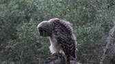 olhar : young barred owl in the evening woods Stock Footage