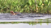 Florida alligators territorial fight during mating season Stok Video