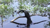 anhinga drops fish in the pond