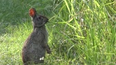 wildlife : marsh rabbit feeds on grass in Florida