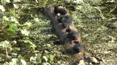 Common Gallinule chicks on a log in Florida wetlands