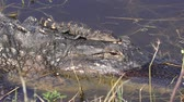 baby alligator sunning on its mother head in Florida lake Stok Video