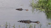 crocodilo : large alligators after fight in a lake Stock Footage
