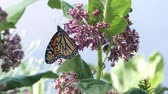 monarch butterfly feed on swamp milkweed
